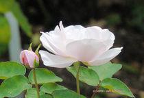 Rose (2) von Udo Schiffgen