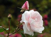 Rose (5) von Udo Schiffgen