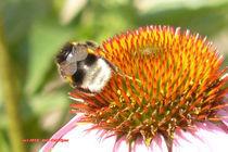 Biene auf Echinacea-Blüte von Udo Schiffgen
