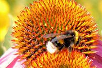 Sonnenhut mit Biene von Udo Schiffgen