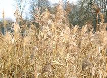 Gräser am Teich von Udo Schiffgen