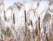 Rohrkolben im Schnee von Udo Schiffgen
