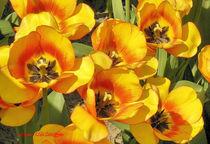 Tulpen von Udo Schiffgen