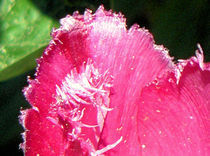 Tulpenblatt von Udo Schiffgen