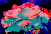 Rose vor schwarzem Grund by Udo Schiffgen