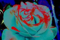Rose vor dunklem Grund by Udo Schiffgen