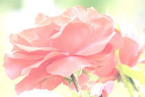 Zarte Rose by Udo Schiffgen