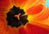 Tulpenblüte 1 by Gabriele Köder - Bercher