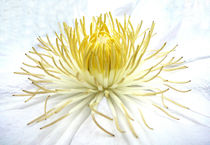 Weiße Clematisblüte von Gabriele Köder - Bercher