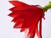 Kaktusblüte I von Gabriele Köder - Bercher