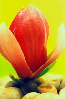 Magnolienblüte von Gabriele Köder - Bercher