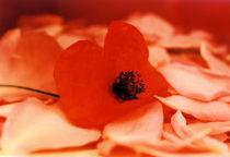 Mohnblüte auf Rosenblätter von Gabriele Köder - Bercher