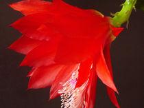 Kaktusblüte II von Gabriele Köder - Bercher