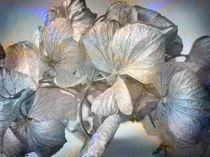 Hortensienblüte  von Gabriele Köder - Bercher