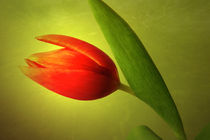 Rote Tulpe von Gabriele Köder - Bercher