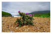 Scottish Highland Thistle by mirjam-otto-bildwerk
