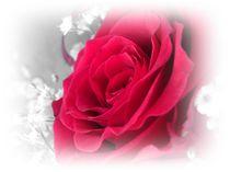 Red Rose von mirjam-otto-bildwerk