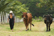 Farmer and Cattle, Ecuador by Melissa Salter