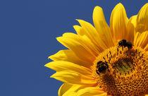 Sonnenblume by sunshinegirl