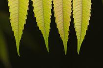 Die 4 Herbstblätter von leonardofranko