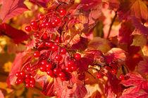 Herbstfrüchte von leonardofranko