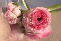 rosa Ranunkelchen von blickpunkte