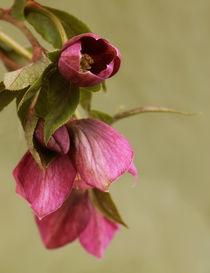 Christrose  (Helleborus niger) by blickpunkte