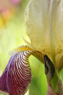 Zarte Blüte der Bartiris  von blickpunkte