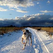 Doggen im Schnee von Mathias May