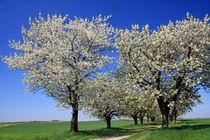 Blütenzauber von watzmann