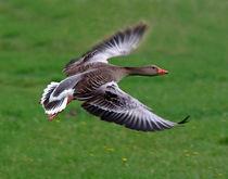 Graugans im Flug wildlife von watzmann