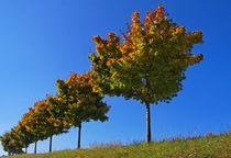 the way of the maple trees von watzmann