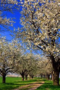 Kirschblütentunnel by watzmann