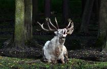 Rufe im Märchenwald von watzmann