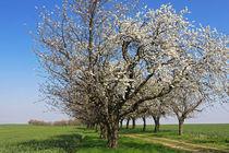 Frühlingstraum von watzmann
