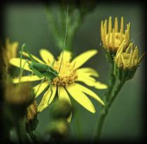Blütenspringer von allrounder