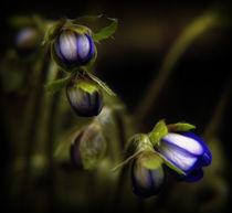 Leberblümchen I von allrounder