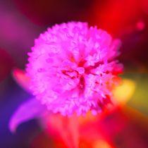 Wildblume in Pink und Rot by Cloude Vigal << Grafiknaturearts