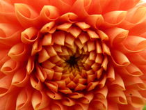 Bonbondahlie orange von regenbogenfloh
