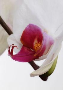 Phalaenopsis von pichris