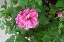 Rose von fotozukunft