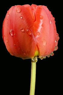 Red tulip with water drops by Iryna Mathes