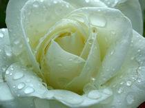 Weisse Rose by Juergen Roth