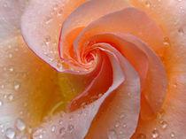 Rose von Juergen Roth