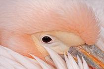 Pelikan by spiritofnature