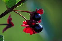 Red Huckleberry by spiritofnature