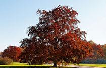 Rotbuche im Herbst von spiritofnature