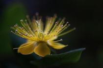 Gelbe Blüte mit Morgentau von Martin Kretschmar