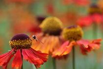 Echinazea von Martin Kretschmar