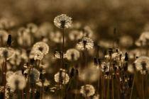 Fields of gold von Martin Kretschmar